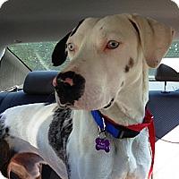 Adopt A Pet :: Thatcher - Richmond, VA