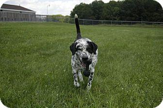 Dalmatian Mix Dog for adoption in East Smithfield, Pennsylvania - Axel
