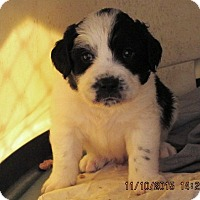 Adopt A Pet :: BoDeen - Lincolndale, NY