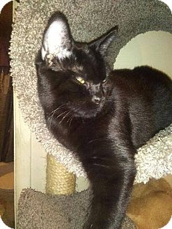 Domestic Shorthair Cat for adoption in Walla Walla, Washington - Snoopy