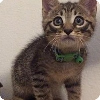 Adopt A Pet :: Neil Catrick Harris - Gainesville, FL