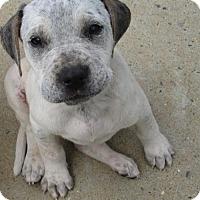 Adopt A Pet :: Roxie - Williston Park, NY