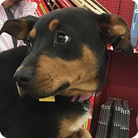 Adopt A Pet :: Darla - Tucson, AZ