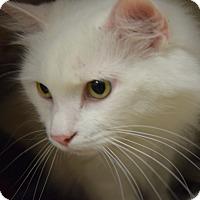 Adopt A Pet :: Bo Peep - Pottsville, PA