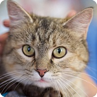 Domestic Shorthair Cat for adoption in Nashville, Tennessee - Owlette