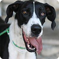 Adopt A Pet :: Harley - Canoga Park, CA