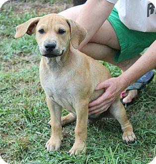 Labrador Retriever/Bulldog Mix Puppy for adoption in FOSTER, Rhode Island - Skipper