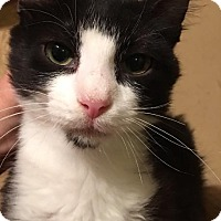 Domestic Shorthair Kitten for adoption in Spring, Texas - Fidelia