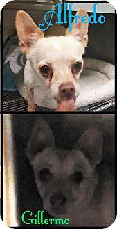 Chihuahua Mix Dog for adoption in California City, California - Alfredo & Gillerrmo