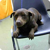 Adopt A Pet :: DAISEY-URGENT 10/23 @ DEVORE - San Bernardino, CA