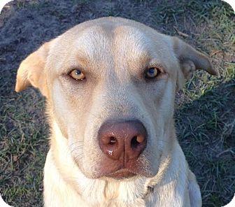 Labrador Retriever Mix Puppy for adoption in Blountstown, Florida - Peanut