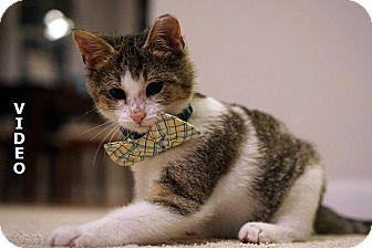 Domestic Shorthair Kitten for adoption in Durham, North Carolina - Rudolph (Rudy)
