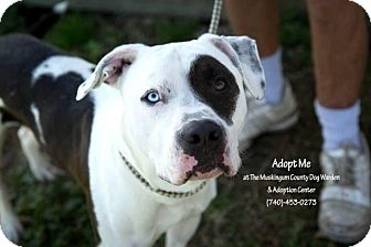American Pit Bull Terrier Mix Dog for adoption in Zanesville, Ohio - Patches - Urgent!