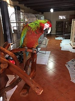 Macaw for adoption in Los Angeles, California - Ozzy