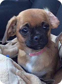 Pug Puppy for adoption in Gardena, California - Wren