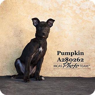 Rat Terrier Mix Puppy for adoption in Conroe, Texas - PUMPKIN