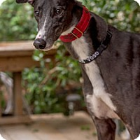 Greyhound Dog for adoption in Walnut Creek, California - Messie