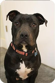 Staffordshire Bull Terrier Mix Dog for adoption in Neosho, Missouri - Aaliyah