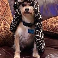 Adopt A Pet :: Sweet Pea (Louee) - San Diego, CA