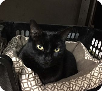 Domestic Shorthair Cat for adoption in Lombard, Illinois - Lenny
