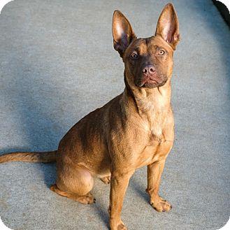 Shepherd (Unknown Type) Mix Dog for adoption in Qualicum Beach, British Columbia - Little Red