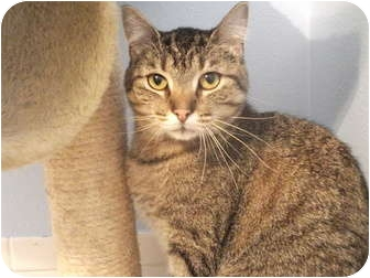Domestic Shorthair Cat for adoption in Edwardsville, Illinois - Leelow