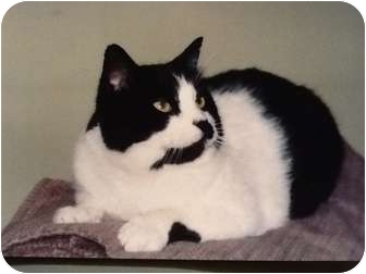 Domestic Mediumhair Cat for adoption in Buffalo, New York - Huckleberry