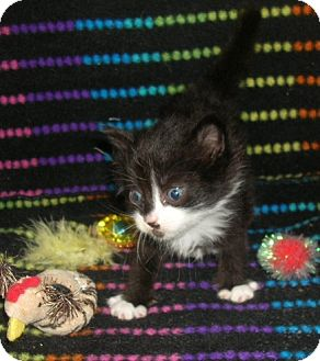Domestic Shorthair Kitten for adoption in Yakima, Washington - Feral Kitten #3