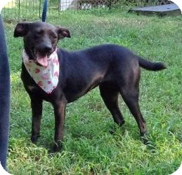 Manchester Terrier/Terrier (Unknown Type, Small) Mix Dog for adoption in Allentown, Pennsylvania - Faith ($200 Fee)