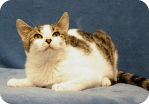 Domestic Shorthair Cat for adoption in Sacramento, California - Emma