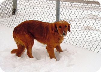 Golden Retriever Mix Dog for adoption in Meridian, Idaho - Aspen