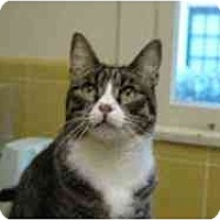 Domestic Shorthair Cat for adoption in Pasadena, California - Etienne