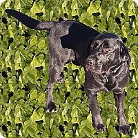 Adopt A Pet :: Maxie English Lab - Sacramento, CA
