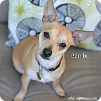Adopt A Pet :: Bambi - Los Angeles, CA