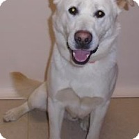 Adopt A Pet :: Snowball - Gary, IN