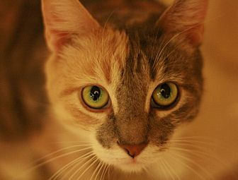 Domestic Shorthair Cat for adoption in Canoga Park, California - Gigi