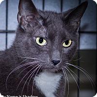 Adopt A Pet :: SHADOW - Brea, CA