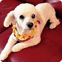 Poodle (Miniature)/Bichon Frise Mix Dog for adoption in Melbourne, Florida - LILY BETH