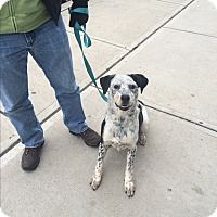 Adopt A Pet :: Pepa - Jersey City, NJ