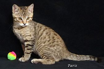 Domestic Shorthair Kitten for adoption in Kerrville, Texas - Paris