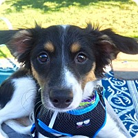 Adopt A Pet :: Betsy Ross - Newtown, CT