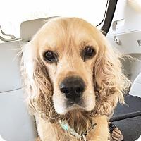 Adopt A Pet :: Calvin - Santa Barbara, CA