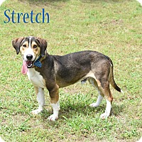 Adopt A Pet :: Stretch - Elburn, IL