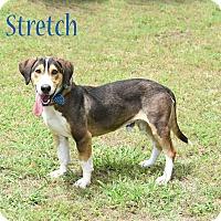 Basset Hound/Hound (Unknown Type) Mix Dog for adoption in Elburn, Illinois - Stretch