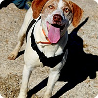 Treeing Walker Coonhound Mix Dog for adoption in Arkadelphia, Arkansas - Miracle