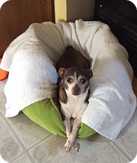 Chihuahua Mix Dog for adoption in Frankfort, Illinois - Poochie