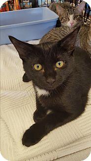 Domestic Shorthair Kitten for adoption in Berkeley Hts, New Jersey - Micki