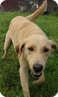 Shepherd (Unknown Type)/Labrador Retriever Mix Dog for adoption in Von Ormy, Texas - Lola