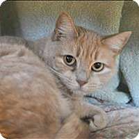 Domestic Shorthair Cat for adoption in Hyde Park, New York - Kiandra