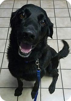 Labrador Retriever/Golden Retriever Mix Dog for adoption in Chattanooga, Tennessee - Tripp